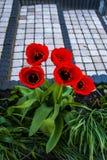 Rode tulpen in de tuin royalty-vrije stock fotografie