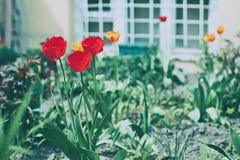 Rode tulpen in de tuin voor het semi-kelderverdiepingsvenster stock foto