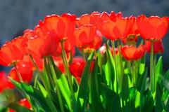 Rode tulpen in de zon royalty-vrije stock afbeelding