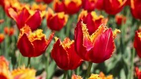 Rode tulpen die in de bloemtuin bloeien De lenteachtergrond stock video