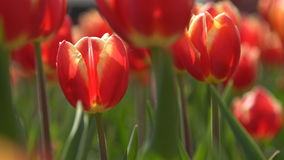 Rode tulpen die in de wind slingeren Close-up stock footage