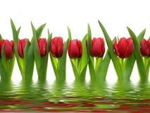 Rode tulpen in een rij Stock Afbeeldingen