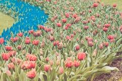 Rode tulpen en blauwe hyacint Royalty-vrije Stock Fotografie