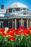 Rode Tulpen en Monticello-Koepel Stock Afbeelding