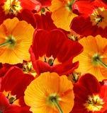 Rode tulpen en oranje papaversachtergrond Royalty-vrije Stock Afbeeldingen