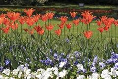 Rode tulpen en witte pansies Stock Afbeeldingen