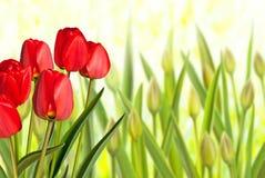 Rode tulpen in het bloembed Stock Foto's