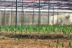 Rode tulpen in het kinderdagverblijf Royalty-vrije Stock Foto's