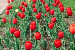 Rode tulpen hoogste mening over een bloeiend bloembed royalty-vrije stock foto's
