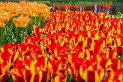 Rode tulpen, Keukenhof-bloemtuin, Nederland, Holland Stock Afbeeldingen