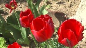 Rode tulpen in Marine Park van Bourgas in Bulgarije stock video