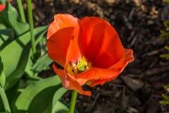 Rode Tulpen met groene bladeren Royalty-vrije Stock Afbeeldingen