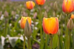 Rode tulpen met mooie boeketachtergrond Royalty-vrije Stock Foto