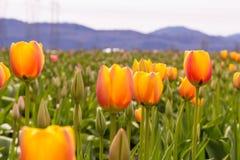 Rode tulpen met mooie boeketachtergrond Stock Afbeeldingen