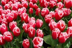 Rode tulpen met waterdalingen in tuin stock fotografie