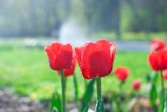 Rode tulpen met waterdalingen in tuin Royalty-vrije Stock Afbeelding