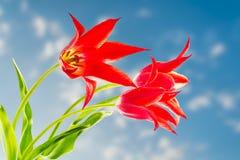 Rode tulpen op blauwe hemelachtergrond Stock Foto