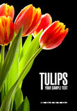 Rode tulpen op de zwarte achtergrond Royalty-vrije Stock Foto