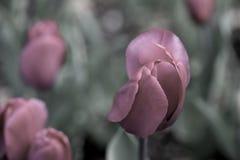 Rode Tulpen op een Gebied Desaturated aan Purple Stock Afbeeldingen