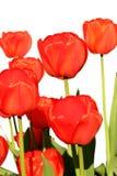 Rode tulpen op een wit Stock Afbeelding