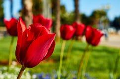 Rode tulpen op het gebied, Kroatië royalty-vrije stock foto