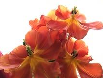 Rode tulpen op wit Royalty-vrije Stock Afbeeldingen
