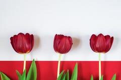 Rode tulpen op witte en rode achtergrond Stock Afbeelding