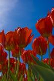 Rode Tulpen tegen de Blauwe Hemel Stock Afbeeldingen