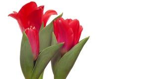 Rode Tulpen tijd-Tijdspanne stock videobeelden