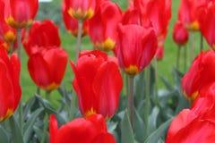 Rode tulpen in tuin stock afbeelding