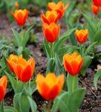 Rode Tulpen Tulipa Kaufmanniana in bloembed in Pasen-tijd stock afbeeldingen
