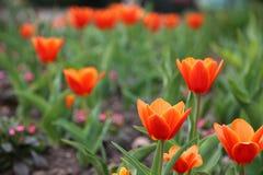 Rode Tulpen Tulipa Kaufmanniana in bloembed in Pasen-tijd royalty-vrije stock fotografie