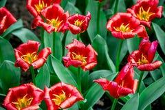 Rode tulpen van Holland stock foto