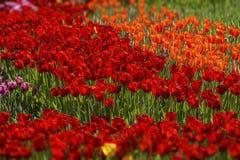 Rode tulpen van verschillende schaduwen royalty-vrije stock fotografie