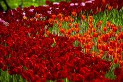 Rode tulpen van verschillende schaduwen stock afbeelding