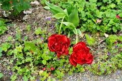 Rode tulpenbloei Royalty-vrije Stock Fotografie