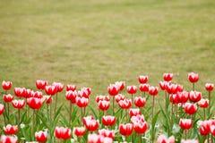 Rode tulpenbloem en het groene gazon Royalty-vrije Stock Fotografie
