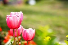 Rode tulpenbloem met de groene achtergrond Royalty-vrije Stock Afbeeldingen