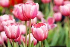 Rode tulpenbloem met de groene achtergrond Stock Foto