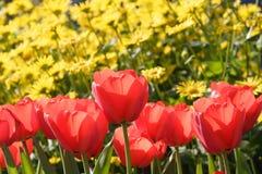 Rode tulpenbloemen Stock Afbeelding