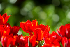 Rode tulpenbloemen in tuin royalty-vrije stock foto's