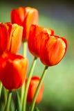 Rode tulpenbloemen in tuin royalty-vrije stock foto
