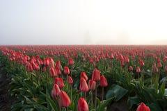 Rode tulpengebied en bomen stock afbeeldingen