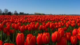 Rode tulpengebieden royalty-vrije stock foto's