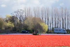 Rode tulpengebieden tegen een achtergrond van lange bomen en mensen die hen bezoeken in de Nederlandse lente stock afbeeldingen