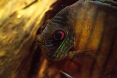 Rode turkooise discusvissen ook geroepen Symphysodon cichlid Stock Foto's