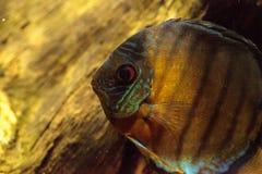 Rode turkooise discusvissen ook geroepen Symphysodon cichlid Stock Afbeelding