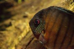 Rode turkooise discusvissen ook geroepen Symphysodon cichlid Stock Afbeeldingen