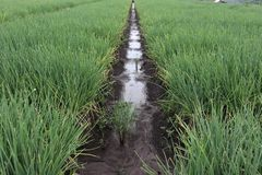 Rode uiaanplanting plantaardig landbouwbedrijf, royalty-vrije stock foto