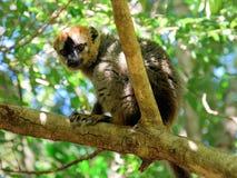 Rode uitgezien op bruine maki, het Nationale Park van Isalo, Madagascar Stock Afbeelding